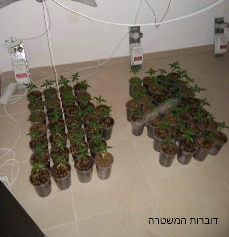 השתילים שתפסה המשטרה (צילום: דוברות המשטרה)