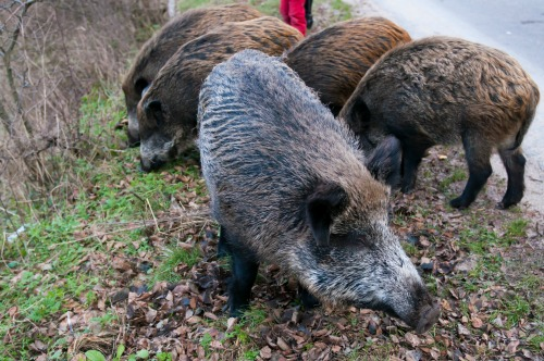 חזירי בר (צילום: א.ס.א.פ קריאייטיב INGIMAGE)