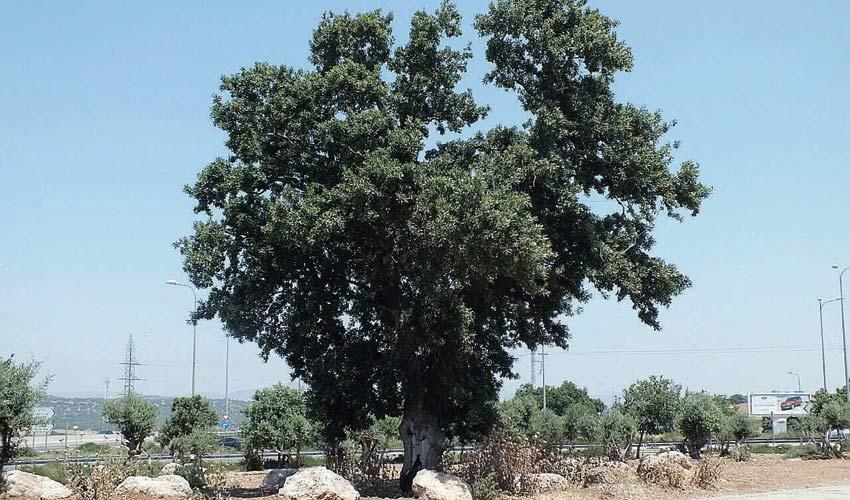 """עץ האלון המשוקם במחלף בית זרזיר (צילום: קק""""ל)"""