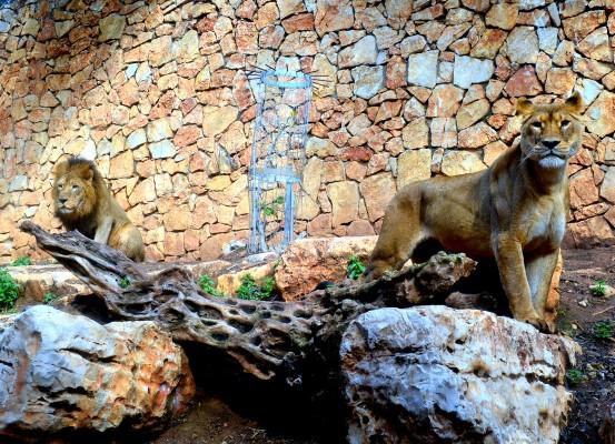 גן החיות של חיפה. ליישר... (צילום: צבי רוגר)