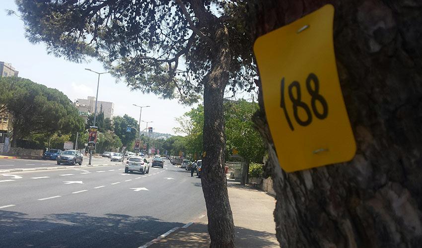 עץ מסומן ברחוב מוריה