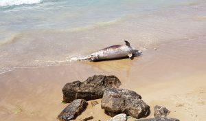 גופת הדולפין (צילום: מני דניאלי)