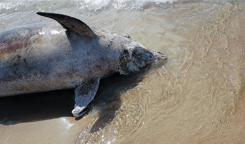 גופת הדולפין שנפלטה לחוף נירוונה (צילום: צביקה לזר)