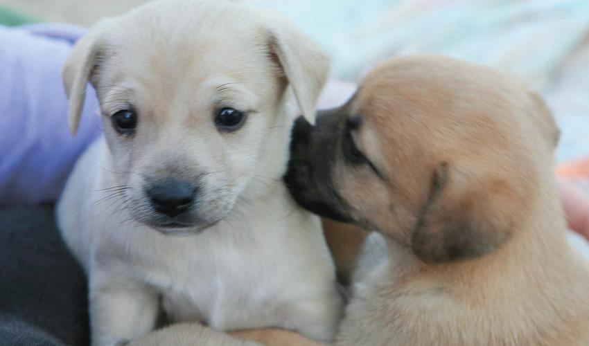 גורי כלבים (צילום: עמותת תנו לחיות לחיות)