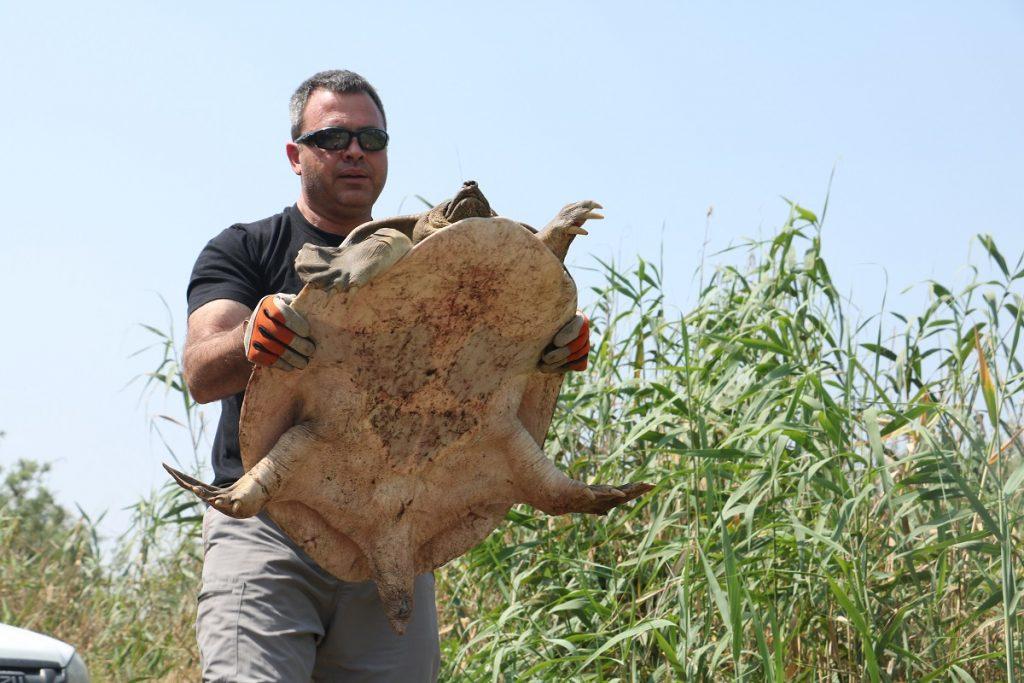 על פי ההערכה, גילה של הצבה הוא 20 שנה (צילום: רשות נחל הקישון)