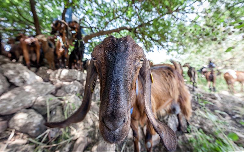 עדר צאן (צילום: אייל טואג)