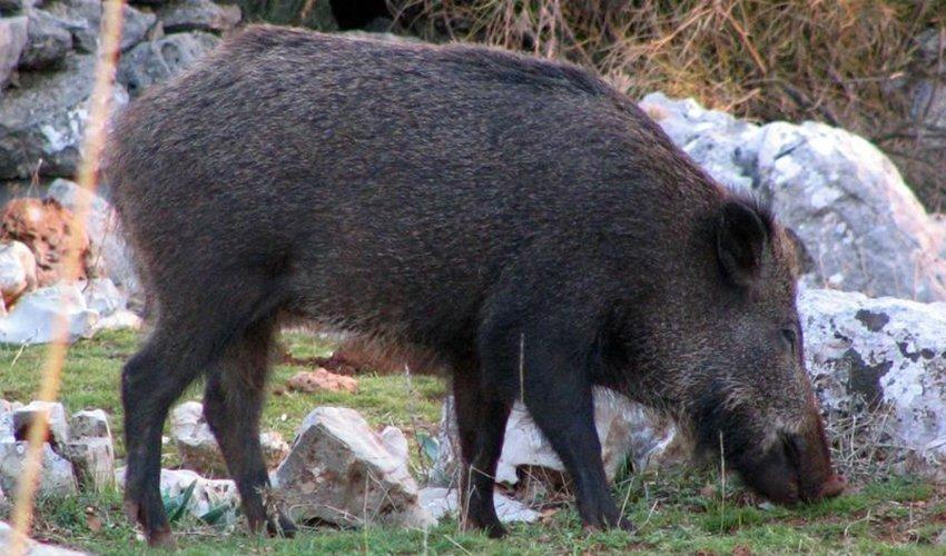 חזיר בר (צילום: ארנון דטנר)