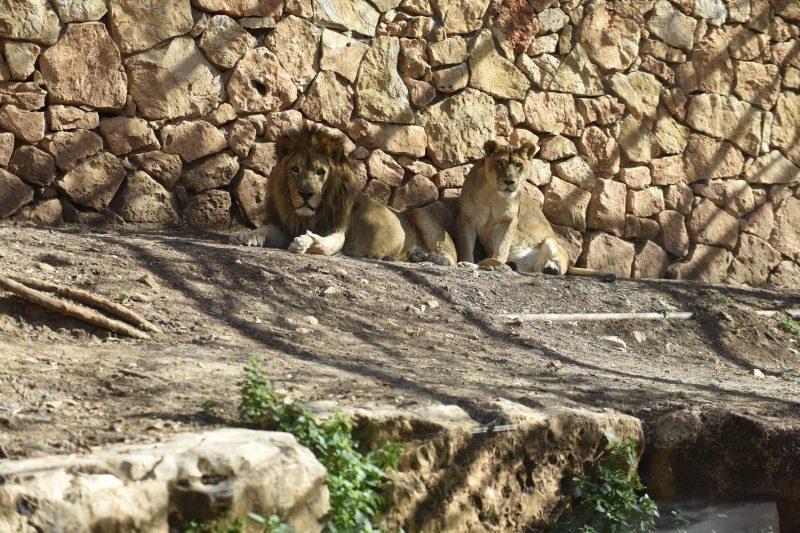 אריה ולביאה בגן החיות (צילום: רמי שלוש)