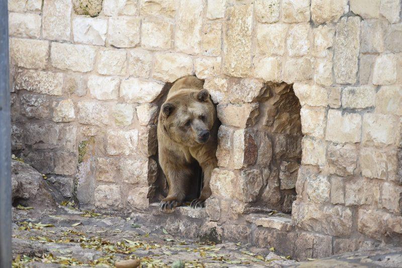 אריות בגן החיות. צילום: רמי שלוש