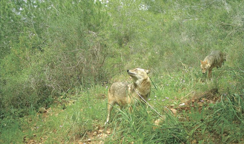 תנים בפארק הכרמל (צילום: רשות הטבע והגנים)