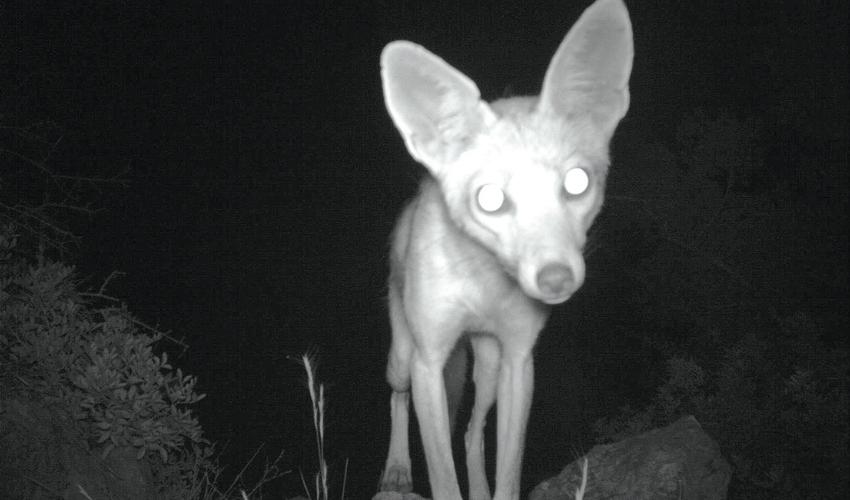 שועל בפארק הכרמל (צילום: רשות הטבע והגנים)