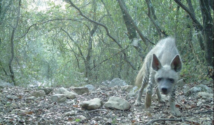 צבוע בפארק הכרמל (צילום: רשות הטבע והגנים)