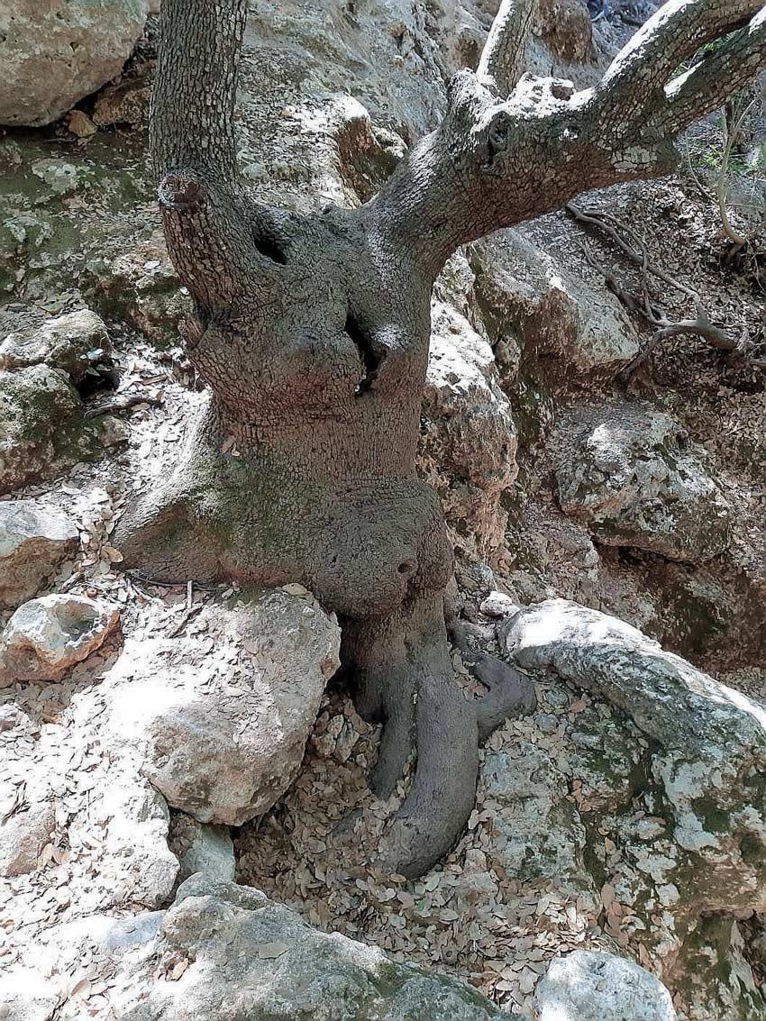 עץ אלון נאחז בסלע (צילום: יוסי מזור)