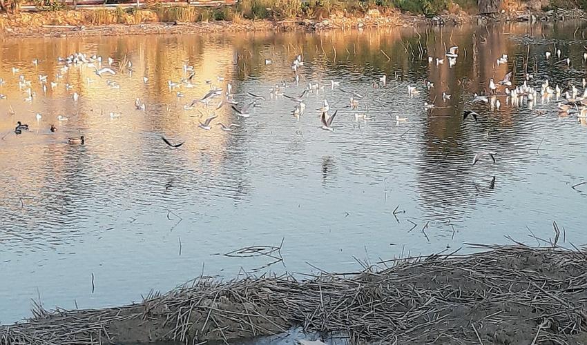 ציפורים בבריכות הדגים במעגן מיכאל (צילום: יוסי מזור)