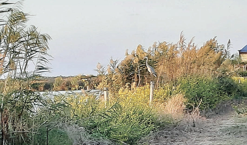 עגור (צילום: יוסי מזור)