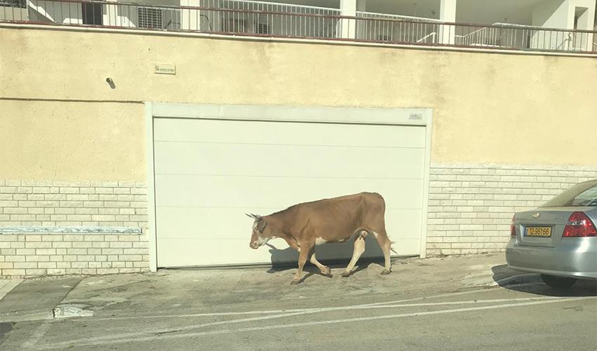 הפרה המשוטטת ברחובות דניה