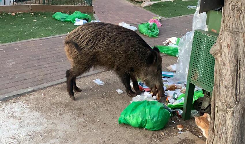חזיר בר ליד בית הספר הרצל