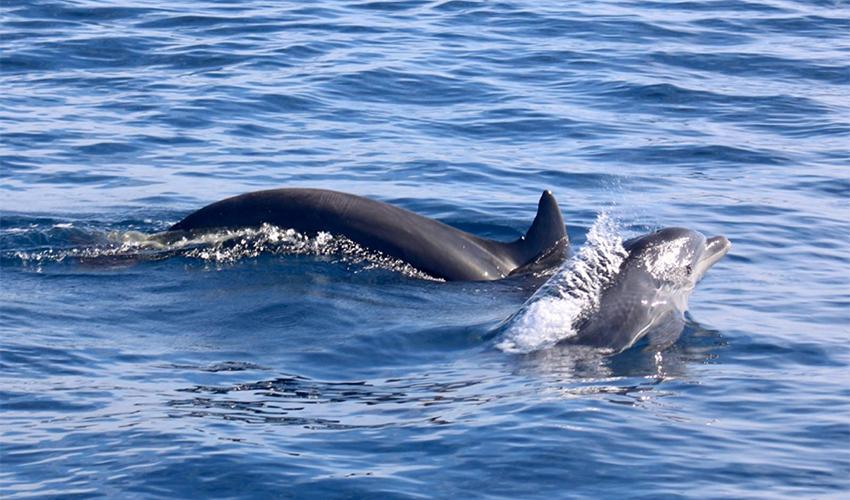הדולפינים שנצפו מול חופי חיפה (צילום: הורוביץ)