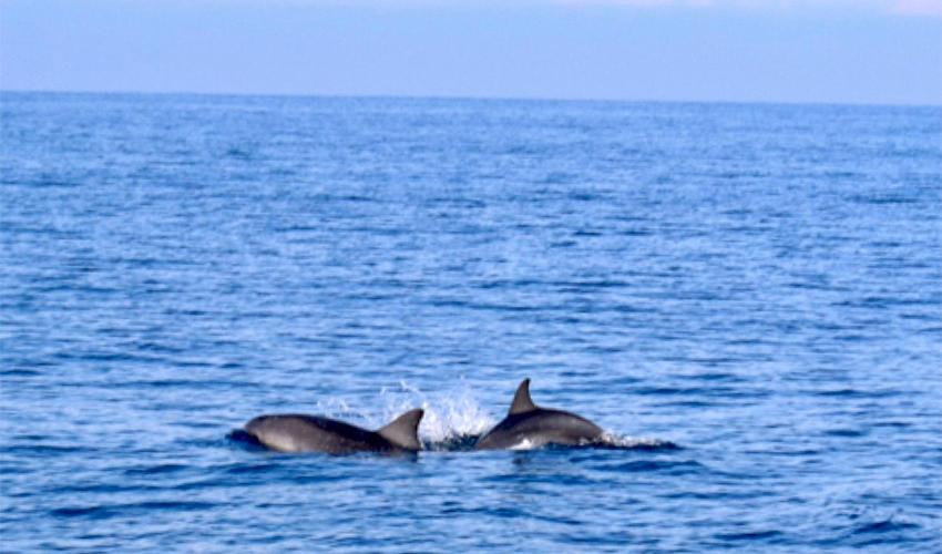הדולפינים שנצפו מול חופי חיפה (צילום: רוני בר שלום)