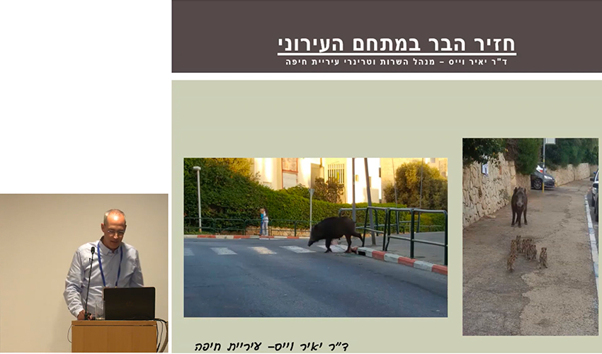 """חזיר בר בחיפה (צילום מתוך הרצאתו של ד""""ר יאיר וייס)"""