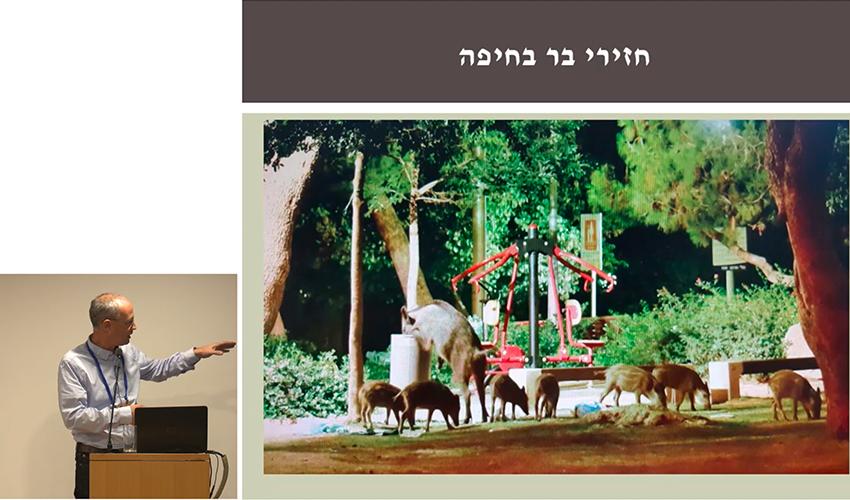 """חזירי בר בגן ציבורי בחיפה (צילום מתוך הרצאתו של ד""""ר יאיר וייס)"""