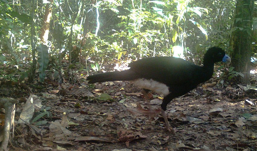 הוקו כחול מקור - ציפור קולומביאנית בסכנת הכחדה חמורה (צילום: אוניברסיטת חיפה)