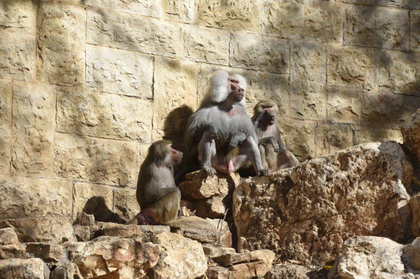 בבונים בגן החיות בחיפה (צילום: רמי שלוש)