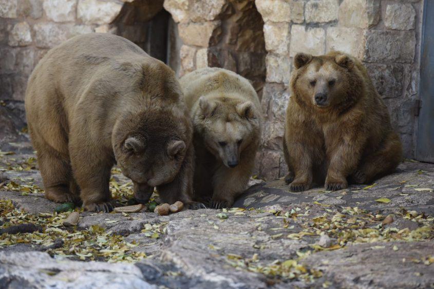 דובים בגן החיות בחיפה (צילום: רמי שלוש)