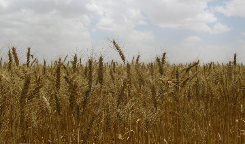 שדות חיטה ממתינים לקציר (צילום: אביגדור כלפה)