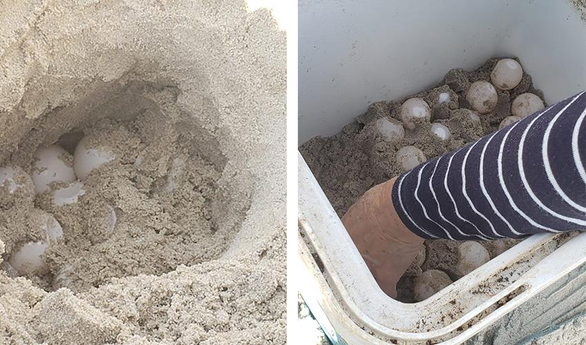 הביצים של צבת הים שהתגלו בחוף נאות (צילומים: כרמל בן בונאן)