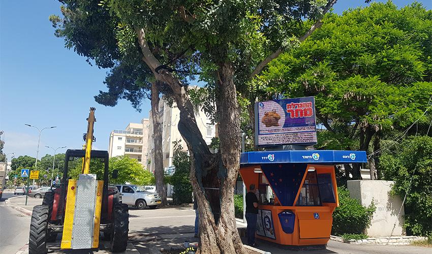 עץ החרוב בשדרות ירושלים (צילום: דוברות עיריית קרית ביאליק)