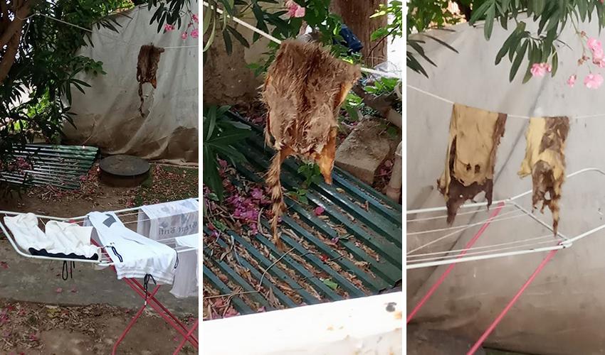 הפרוות התלויות (צילומים: מתנדבים למען זכויות בעלי חיים)