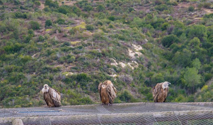 נשרים בחי בר (צילום: מנו גרינשפיין)