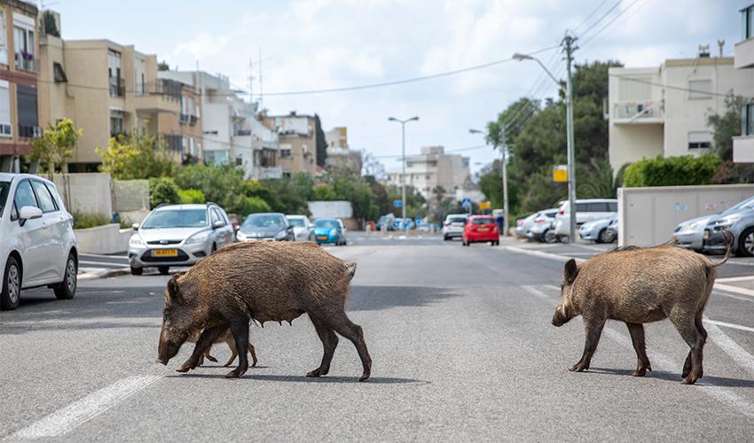 חזירי בר ברחובות חיפה (צילום: אוהד צויגנברג)