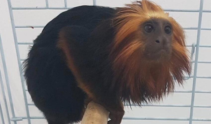 הקוף שנגנב (צילום: דוברות משטרת ישראל)
