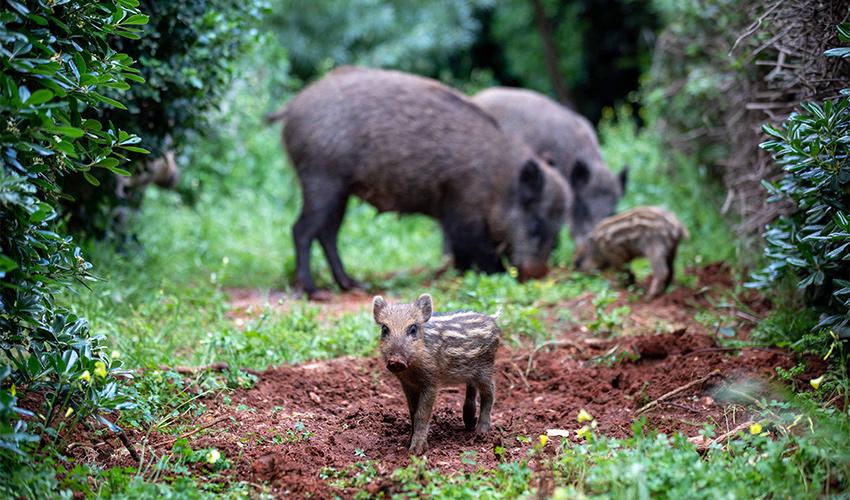 חזירי בר בחיפה (צילום: אוהד צויגנברג)