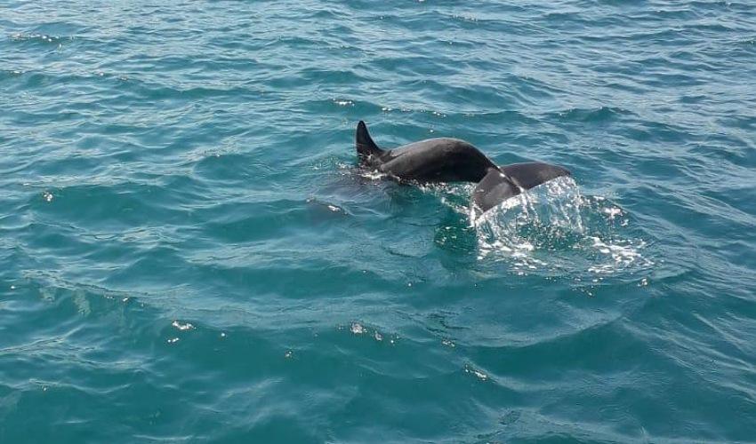הדולפין שנצפה היום בנמל חיפה (צילום: רוני הורוביץ בר שלום)