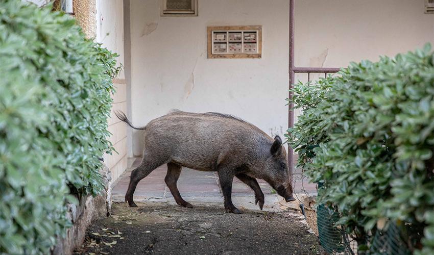 פיילוט: העירייה הציבה מלכודות לחזירי בר