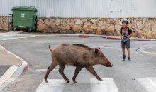 חזיר בר בחיפה (צילום: אוהד צויגנברג)