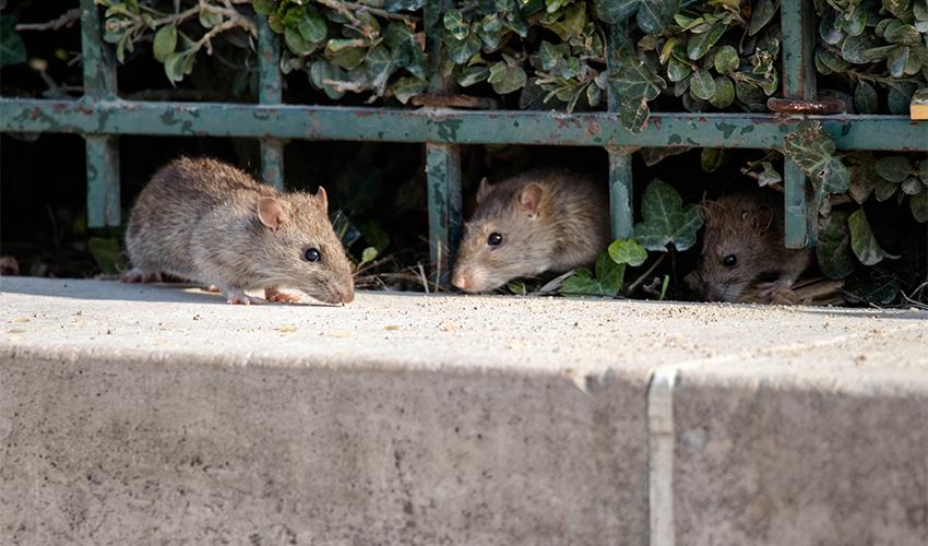 חולדות (צילום: shutterstock.com, Florian Bott)