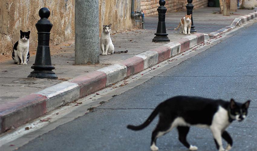 חתולי רחוב (צילום: ניר כפרי)