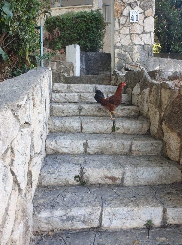 התרנגול ברמת בגין (צילום: גלי גלשטיין)