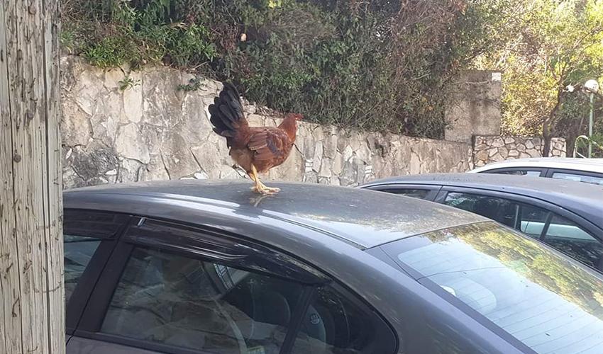 התרנגול ברמת בגין (צילום: עודד ניידיק)