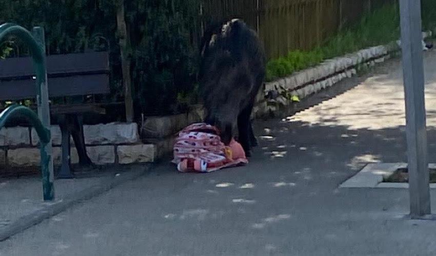 החזיר והתיק של הילדה (צלם לא ידוע, שימוש לפי סעיף 27א' לחוק זכויות יוצרים)