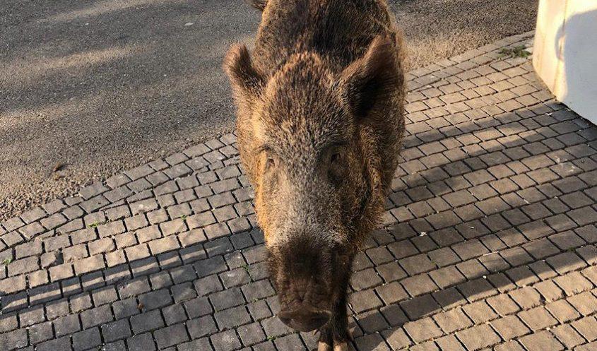 החזיר שנשך את תושב העיר (צילום: גבי דויטש)