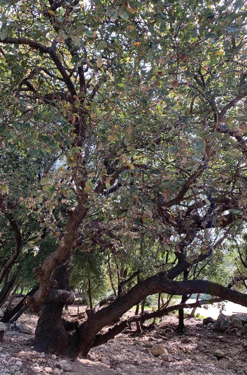 עץ אלון עתיק בנחל אורן (צילום: חגית הורנשטיין)