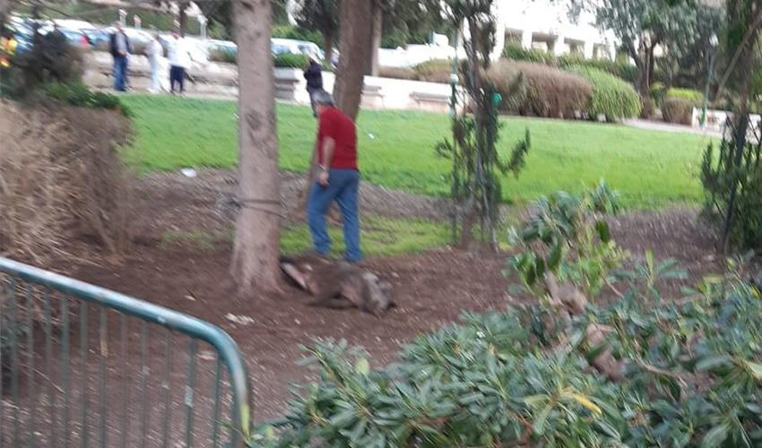 הממונה על חיות הבר בעיריית חיפה ליד החזיר המורדם (צלם לא ידוע, שימוש לפי סעיף 27א' לחוק זכויות יוצרים)