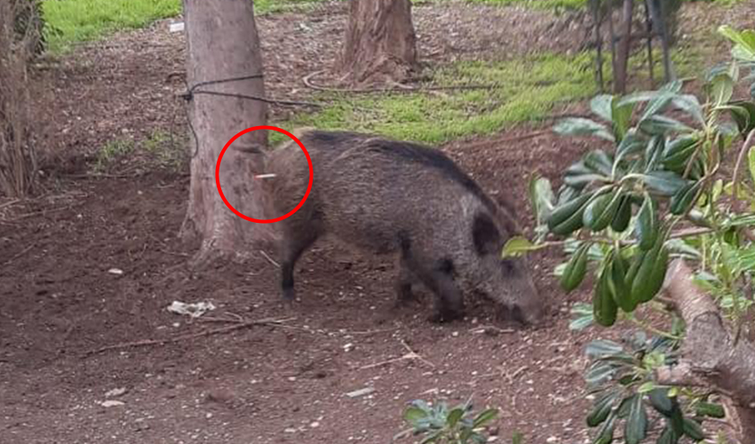 החזיר עם חץ ההרדמה (צלם לא ידוע, שימוש לפי סעיף 27א' לחוק זכויות יוצרים)