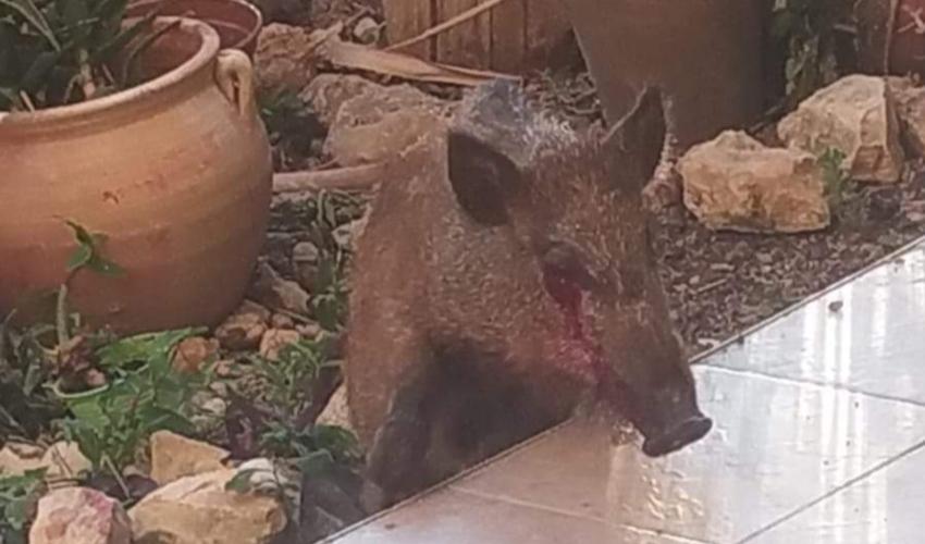 חשד: אדם תקף חזיר בשכונת שפרינצק ופצע אותו קשה (שימוש לפי סעיף 27 לחוק זכויות יוצרים)