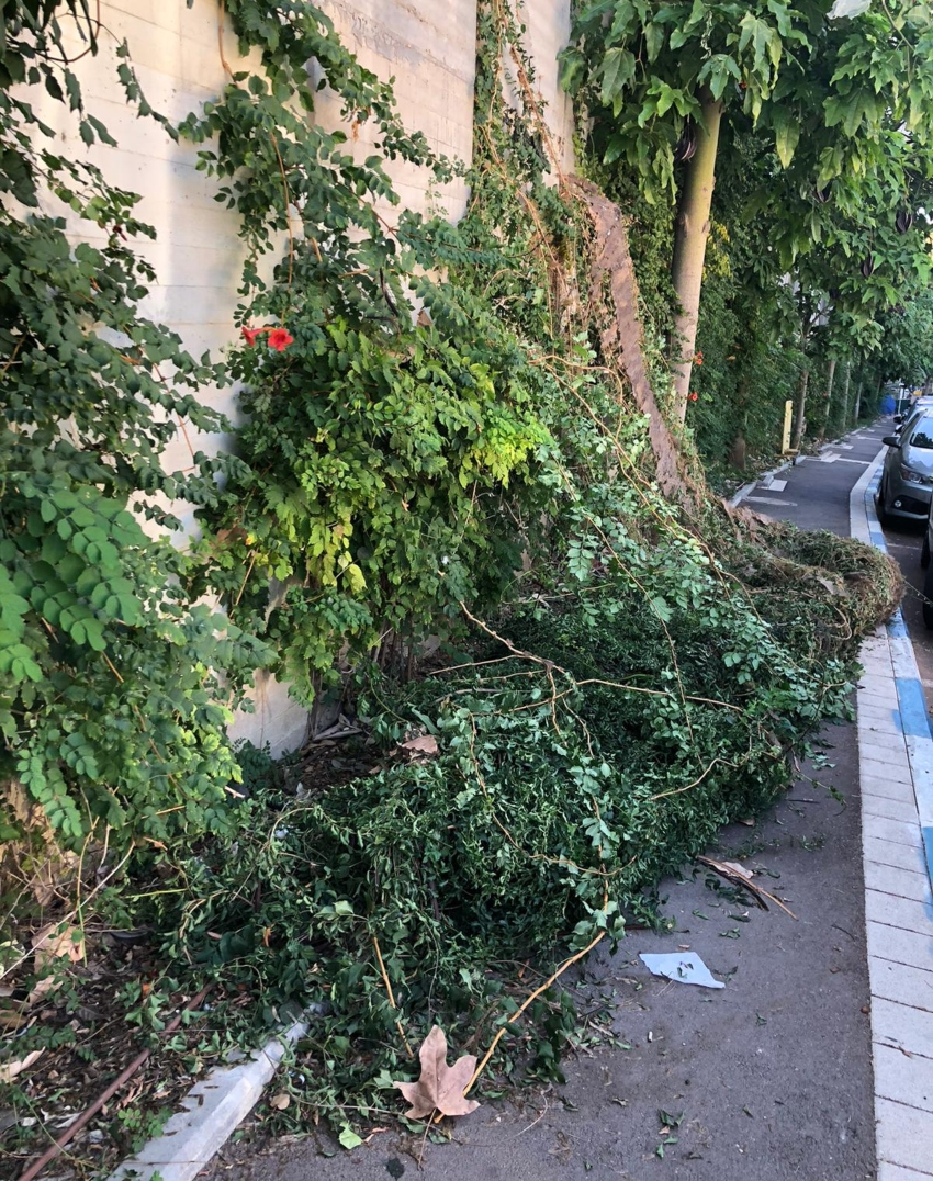 הצמחייה שנעקרה מהחומה ברחוב מונטיפיורי (צילום: גבי נוריאל)